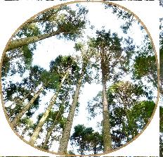 天竜檜と天竜杉